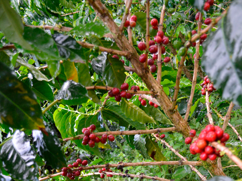 planta-cafe2