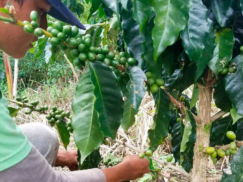 planta-cafe3